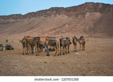 Dromedaries or Arabian camels at Nekhla dunes, near Zagora, Morocco.