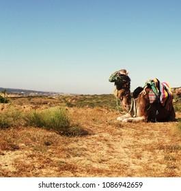 Dromedaries of the desert