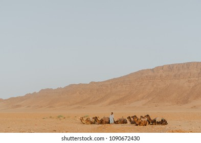 Dromedaries at the sahara desert
