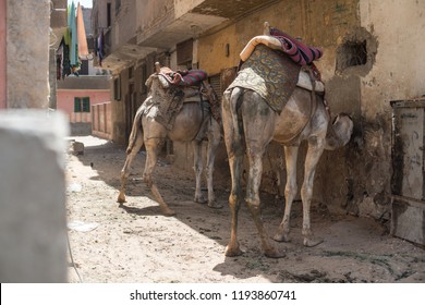 Dromedaries in the streets of Cairo city, waiting for tourists customers to visit the Giza pyramids complex in Egypt.