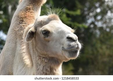 Dromedary / Arabian Camel