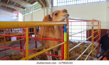 Dromedary or Arabian camel exposed in show of livestock in Spain
