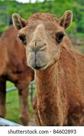 The dromedary or Arabian camel has a single hump. Dromedaries are native to the dry desert areas of West Asia.