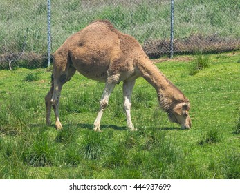 Dromedary camel (Camelus dromedarius) is a large, even-toed ungulate with one hump on its back.