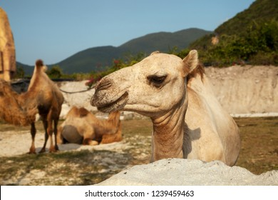 Dromedary camel head close-up portrait. Group of Bactrian and Dromedary camels species in the nature
