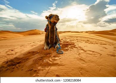 Dromedary Camel Sahara Desert Merzouga Morocco