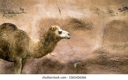 Dromedary Camel at the zoo walking into the scene against a rock background