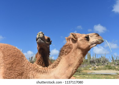 Dromedary camels munching on hay on a beautiful day.