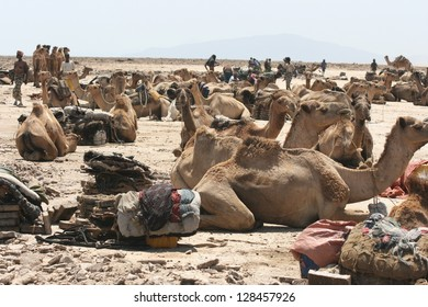 dromedary camels rest in the hot sun before joining caravans to haul salt in the Danakil desert of Ethiopia in Africa