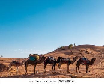 Dromedary camels resting at a desert camp near Zagora in the Sahara desert, Morocco