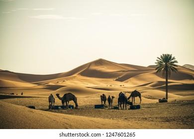 Dromedary camels in the Sahara desert, Morocco