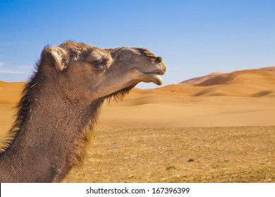 Dromedary head in front of sand dunes