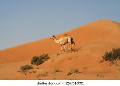 dromedary in isolated Oman desert