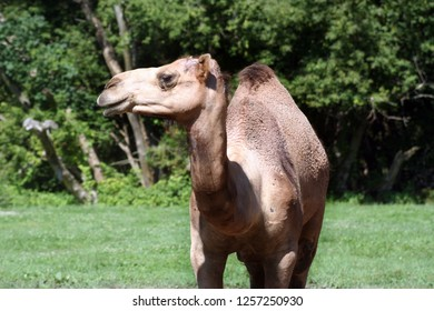 Dromedary one humped camel in zoo