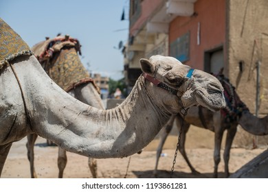 Dromedary portraiture. Picture taken in Cairo street, in the area in front of the Giza pyramids. This Dromedary is used for touristic trip in the pyramids complex area. Egypt.