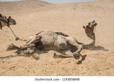 Dromedary rolling around in the sand, in front of Giza pyramids, in Egypt.