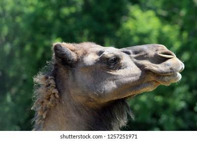 Dromedary in Zoo