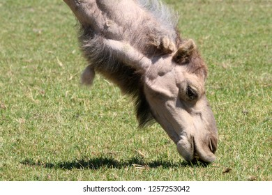 Dromedary at zoo grazing on grass