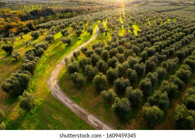 Drone aerial view of olive trees field in Chianti region, Tuscany, Italy