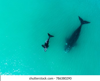 Drone birds eye view of a mother and baby whale swimming in the blue ocean water.