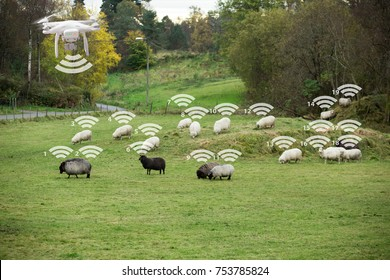 Drone counts sheep. Robot shepherd. Internet of things in agriculture