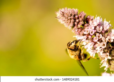 drone fly on a flower of a peppermint in summer in Germany