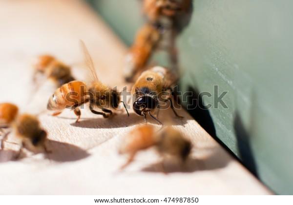 Drone Honeybee Among Female Worker Bees Stock Photo Edit