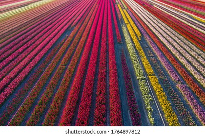 Drone photo of beautifully colored tulips with beautiful contrasting colors