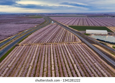 Drone photo of miles of rows of blooming almond trees, planted between and next to Highway 5 in Northern California near Sacramento.