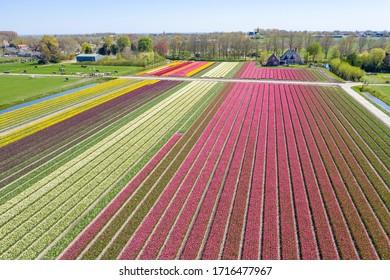 Drone photo of the tulip field near Lisse, Keukenhof flower park