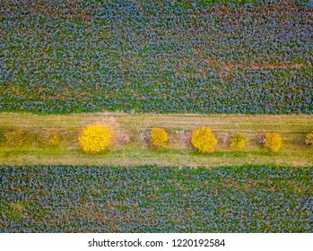 Drone photography and aerial view over Phacelia fields with yellow tree line between
