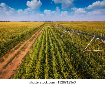 Drone photography, aerial view of water irrigation system in cultivated cornfield