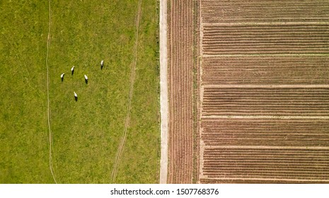 Drone view of an agricultural land with cows grazing peacefully