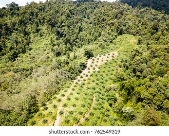 Drone view of deforestation caused by palm oil plantations in Thailand