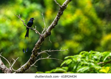 Drongo on branch, Thailand.
