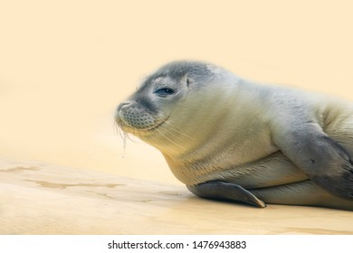 drooling baby seal on sand background