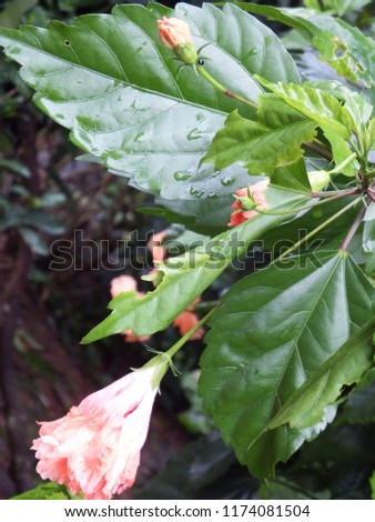 Drooping Double Layer Hibiscus Flower Stock Photo Edit Now