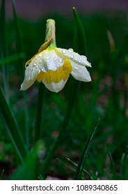 Drooping flower of Narcissus