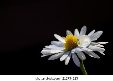 Drop and daisy