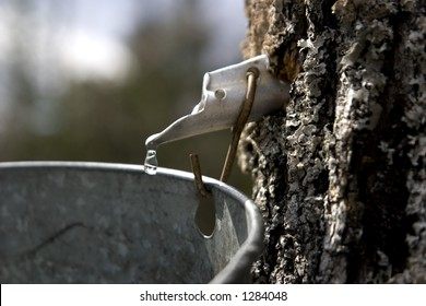 A drop of maple sap about to fall off the end of a spout into a bucket, hung on a maple tree.