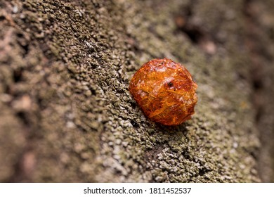 A drop of solidified resin on a tree trunk