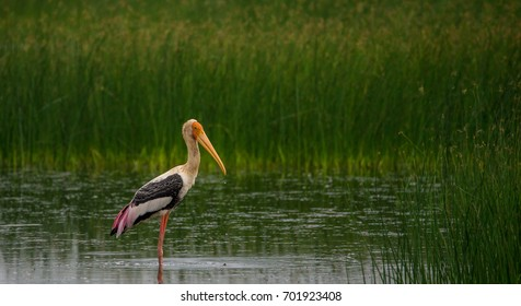 A drop of water falling from the beaks of a Painted Stork, while standing on shallow waters near a green field