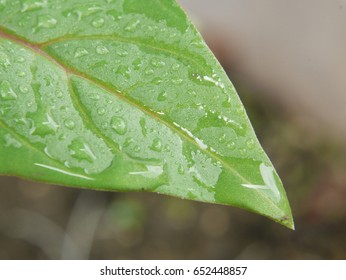 drop water in leaf