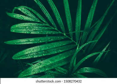 drop of water on tropical palm leaf, dark green foliage, nature background