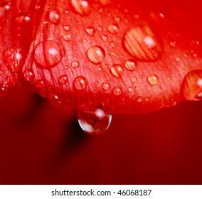 Drop of water on tulip