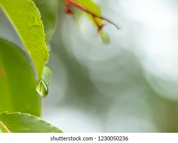 Droplet hanging on the tip of a leaf. With copy space left over for text and images