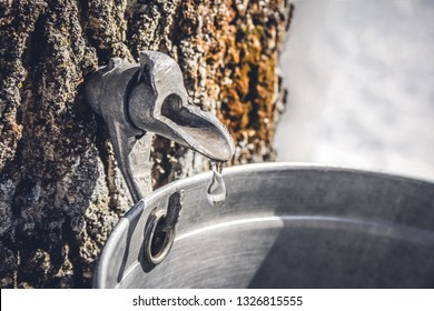 Droplet of maple sap dripping from a tap into a pail to produce maple syrup. Tradition in Quebec, Canada.