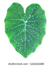 Droplet on Colocasia esculenta var  isolate on white with clipping path