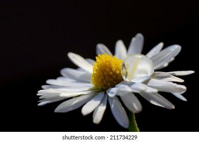Droplet on Daisy petals