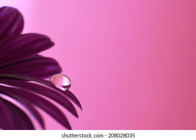 Droplet on flower petals and with a purple background. Monochrome pink.